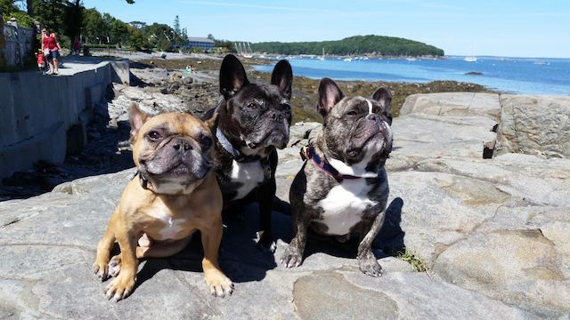 Bar_Harbor_Frenchies.jpg